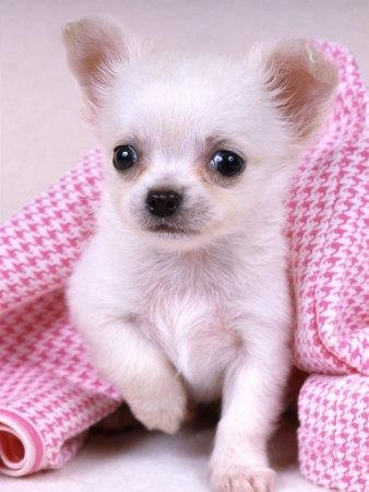 Puppies on Pictures Of Adorable Teacup Chihuahua Puppies